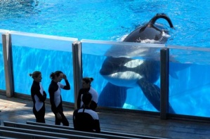 Tilikum in the performance pool at SeaWorld, Orlando